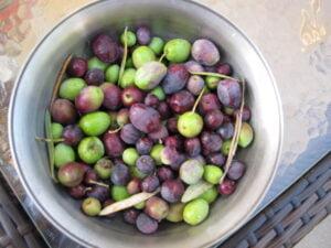 Galveston olives from my backyard tree